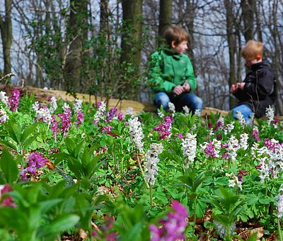 Der Lerchensporn blüht auf den Hängen des Freeden - der Freeden ist ein Teil des südlichen Kammes des Teutoburger Waldes.